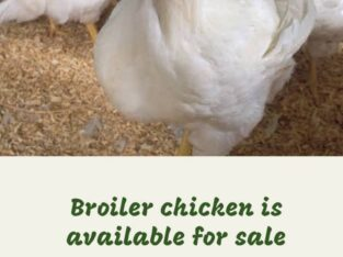 Broiler chicken